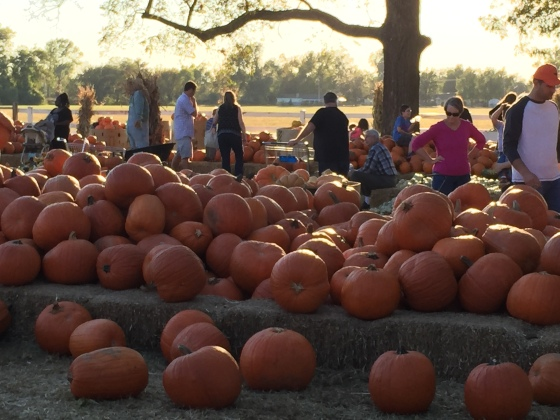 pumpkins with people and counry in background at pumpkin patch IMG_7755 (2)