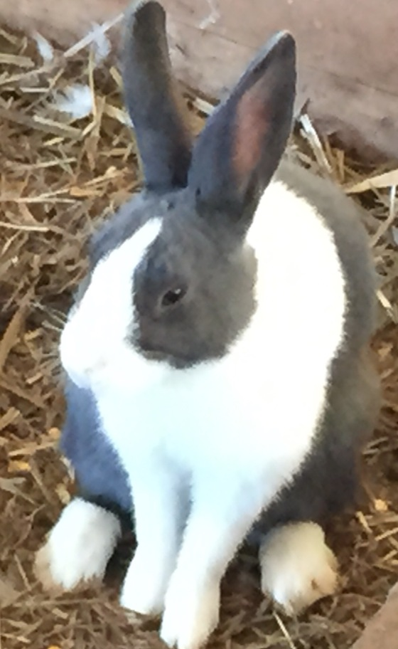rabbit close up at pumpkin patch FullSizeRender (21)