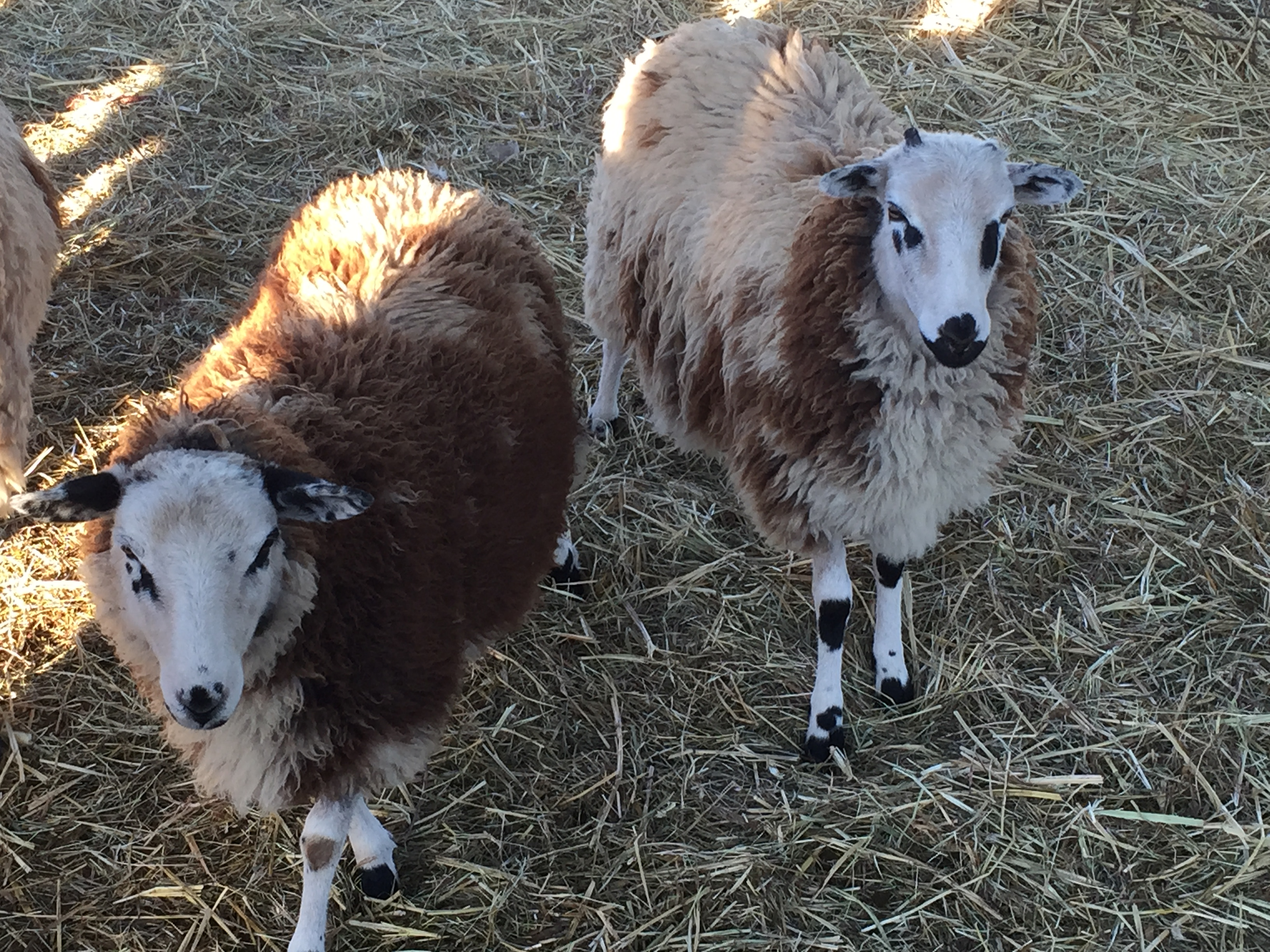 sheep pair at pumpkin patch
