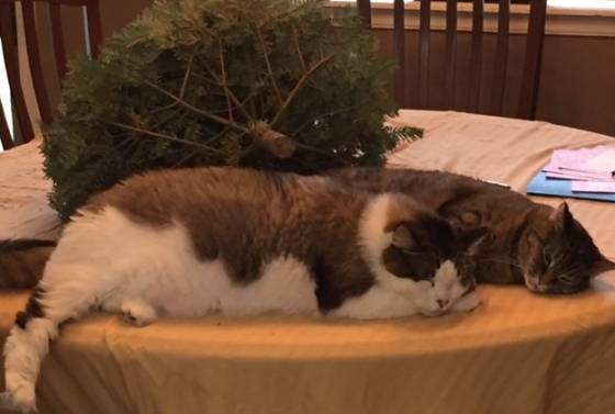 cats on table with christmas tree sleeping