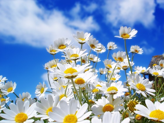 Daisies in open field with blue skies